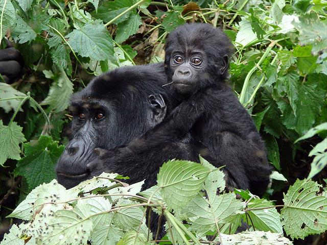 6 Days Mgahinga Gorilla National Park